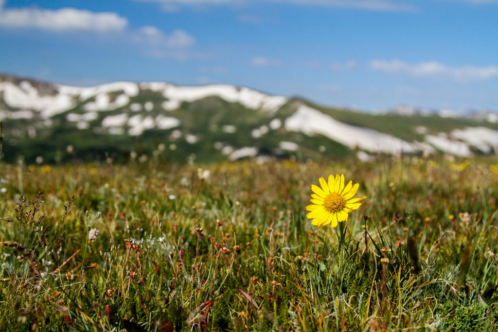 a yellow flower with snow covered mountains in the background