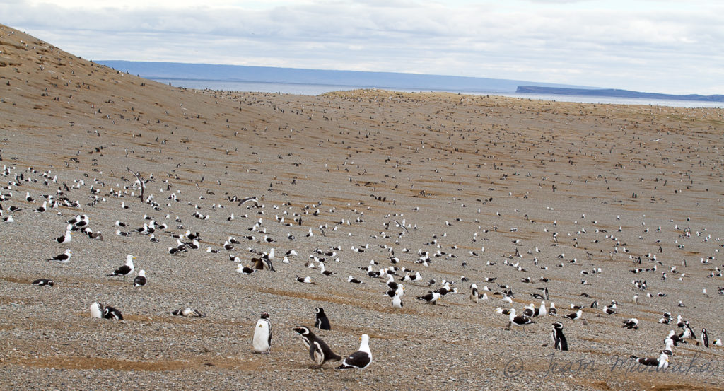 penguin colony on a island