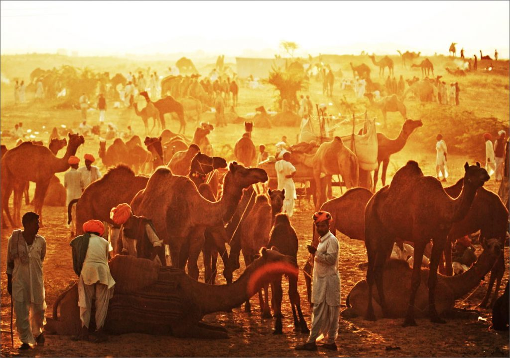 lots of camels during sunset