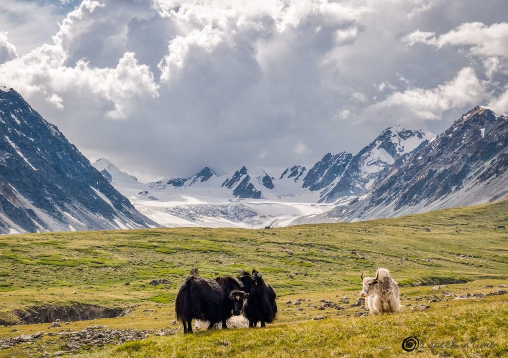 yaks in the meadow with snowy mountains in the background